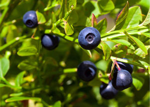 Premo from London Teas - Billberry - Vaccinium Myrtillus300