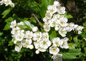 Premo from London Teas - Hawthorn - Crataegus Monogyna300