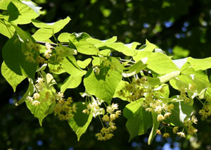 Premo from London Teas - Linden Tree -Tilia Parvifolia300