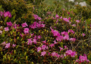Premo from London Teas - Mountain Peony - Paeonica Banatica300