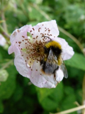 Bee pollinating and collecting nectar