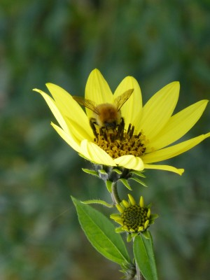 Bee pollinating large yellow flower head