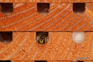 Mason bees, mason bee hotels, A French Garden, Premo From London
