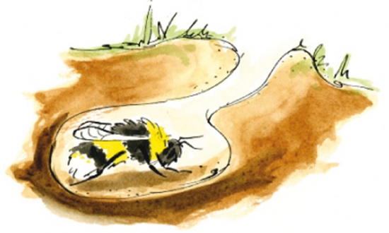 Sleeping bees, hybernating bees, Premo From London, Bumblebee Conservation Trust